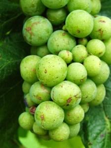 Photo-Grapes