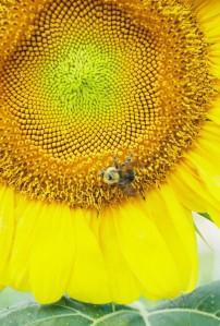 Photo-sunflowerwithbee