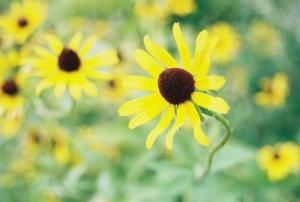Photo-yellowflowers
